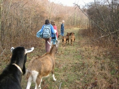 Allie and Bruno the Boxer as well as three girls walking in the goat field