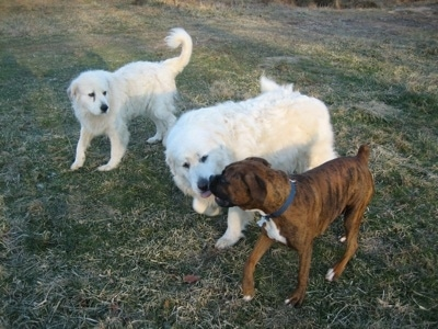 Bruno the Boxer walking around the yard with Tacoma and Tundra the Great Pyrenees, Tundra is licking Bruno's mouth