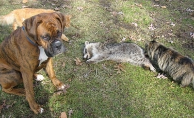 Bruno the Boxer sitting next to a dead raccoon and a cat is walking towards the corpse