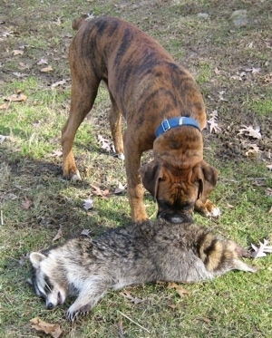 Bruno the Boxer sniffing a dead raccoon