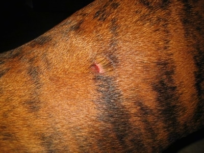 Bruno the Boxers Bite Wound - Day 3