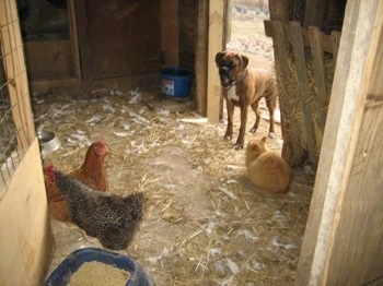 Bruno the Boxer standing at the opening of the chicken coop, with a cat at the door and chickens in the coop