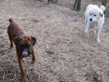 Bruno the Boxer licking with his tongue out walking to the camera holder with Tacoma the Great Pyrenees looking at him