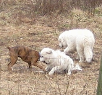 Bruno the Boxer playing with Tacoma and Tundra the Great Pyrenees
