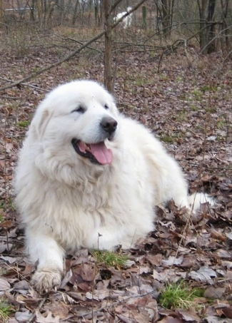 Tundra the male Great Pyrenees laying in the woods