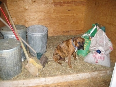 Bruno the Boxer sitting on hay in the hay shed with feed bags, 3 trash cans, 2 brooms and a shovel around him