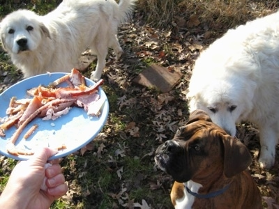 Tacoma and Tundra the Great Pyrenees with Bruno the Boxer looking up at a plate for of ham that a human is holding