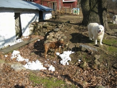 Pieces of dog bed stuffing everywhere next to a springhouse. Bruno the Boxer standing in front of a small stone wall with Tundra the Great Pyrenees in the background