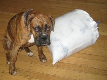 Bruno the Boxer sitting next to a trash bag of dog bed stuffing