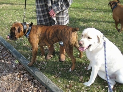 Bruno the Boxer standing on grass and Henry the Labrador Retriever sitting next to Bruno