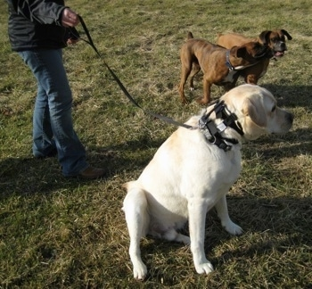 Henry the Labrador Retriever sitting outside next to Allie and Bruno the Boxer playing around