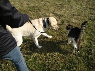 Henry the Labrador Retriever standing next to Trouble the cat who has his hair and tail up