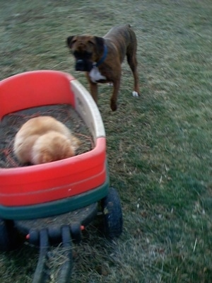 Bruno the Boxer chasing a wagon with a Cat in it