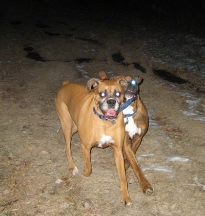 Allie the Boxer running and Bruno the Boxer has Allies Collar in his mouth