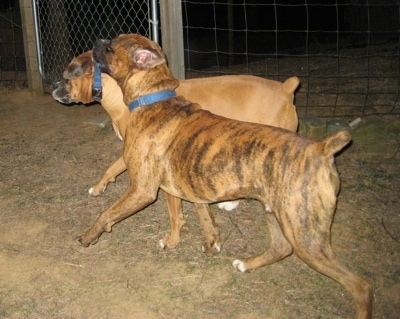 Bruno the Boxer holding onto Allie the Boxer's collar by his mouth as he trots across the fenceline