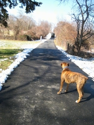 Bruno the Boxer looking up the driveway at a UPS truck that is driving down
