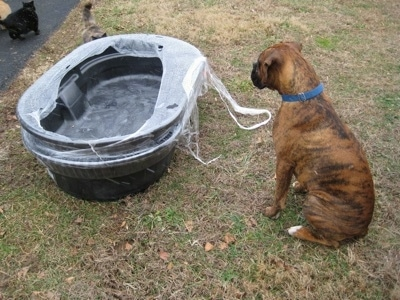 Bruno the Boxer sitting in front of a newly delivered goat water tub. And cats are walking up to it as well