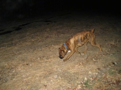 Bruno the Boxer off leash on a late night walk