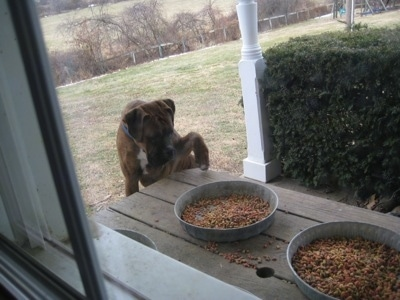 Bruno the Boxer jumped up at continuing to paw at the food on the picnic table, viewed through the window