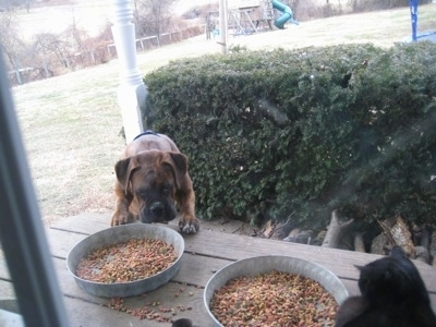 Bruno the Boxer dragging the cat bowl, which is on a picnic table, towards himself, viewed through the window