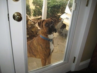 Bruno the Boxer looking into the house through the glass door