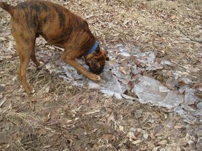 Bruno the Boxer eating ice