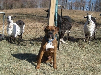 Bruno the Boxer with his tongue out sitting in front of goats who are behind a fence