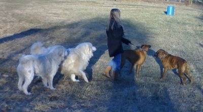 Tacoma and Tundra the Great Pyrenees with Amie with Allie and Bruno the Boxer walking in the field