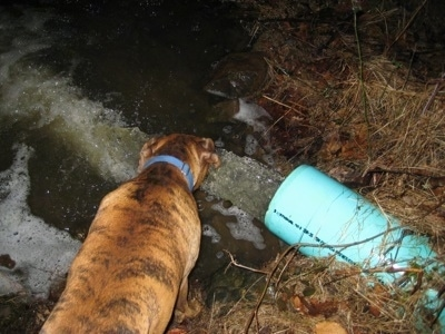 Bruno the Boxer drinking water out of the stream the large pipe runs off into