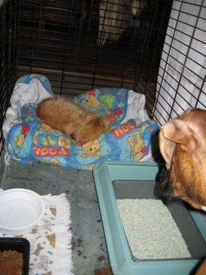 Waffles the Cat laying in Brunos Crate with a blanket, food, water and a litter box