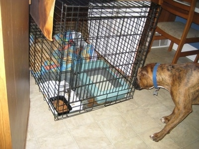 Bruno the Boxer looking at Waffles the cat in his crate