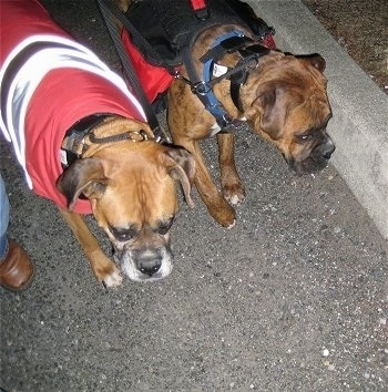 Allie the Boxer wearing a coat and Bruno the Boxer wearing a backpack while walking