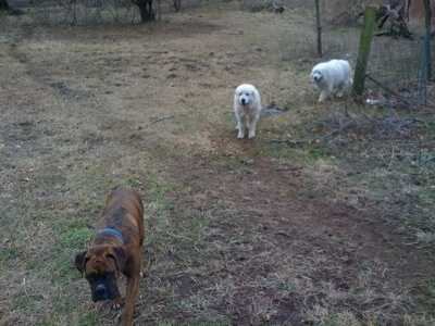 Bruno the Boxer with Tacoma and Tundra the Great Pyrenees walking around the field