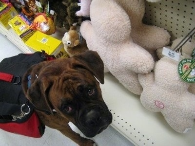 Bruno the Boxer wearing a dog back pack in a store aisle standing in front of plush dog toys