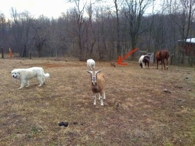 Bruno the Boxer in a field with Tacoma and Tundra the Great Pyrenees with goats and horses