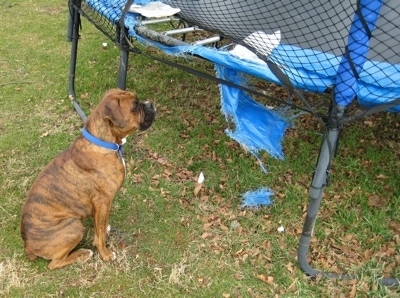 Bruno the Boxer sitting next to looking at the part of a trampoline that he chewed up