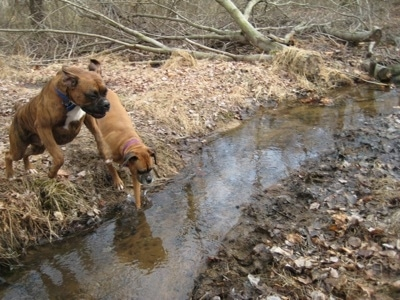 Allie the Boxer about to walk through a stream and Bruno the Boxer jumping over the stream