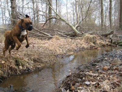 Bruno the Boxer jumping over the stream in mid air