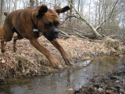 Bruno the Boxer in mid air jumping into mud over the stream