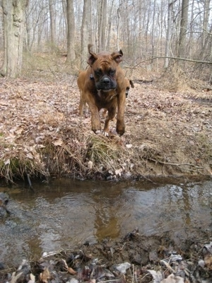 Bruno the Boxer in mid air jumpin over the stream and into mud