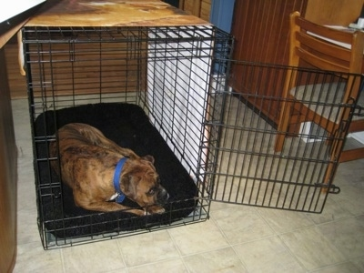 Bruno the Boxer laying in his crate