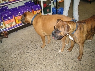 Allie and Bruno the Boxers look at feed bags