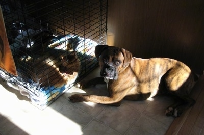 Bruno the Boxer laying in front of his crate with Waffles the cat inside of the crate