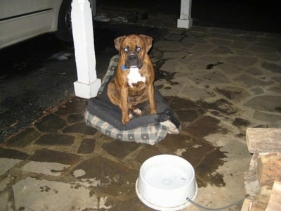 Bruno the Boxer sitting on an up-side-down dog bed with spilled water all around him