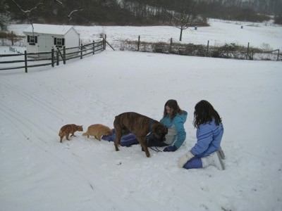 Bruno the Boxer and Two cats getting on the sled instead of Sara and Jordan