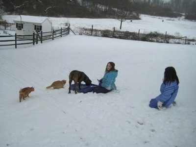 Bruno the Boxer on the sled with two cats near him and Sara and Jordan