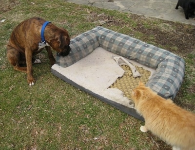 Bruno the Boxer and the cat have drug the Dog bed into the yard and they are looking at it