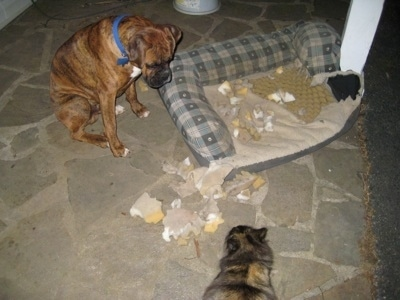 Bruno the Boxer sitting next to a really chewed up dog bed with a cat watching him