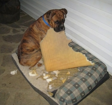 Bruno the Boxer sitting on his outside dog bed with a large piece of sponge type cushion in his mouth