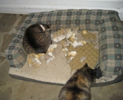 Cats laying in a dismantled dog bed